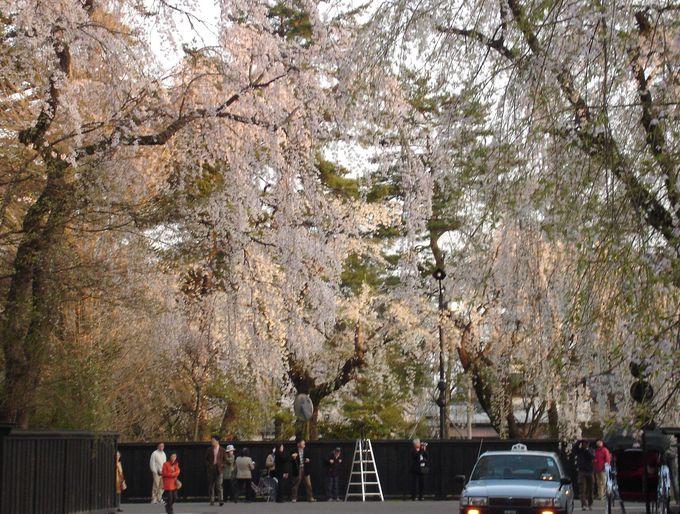400本の枝垂れ桜と桧木内川堤ソメイヨシノ