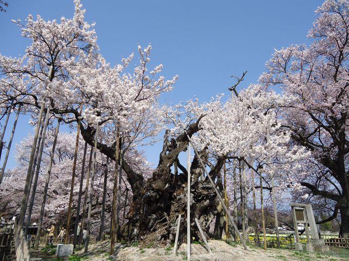 山高神代桜と名桜の子孫と水仙が集う実相寺(山梨・北杜)