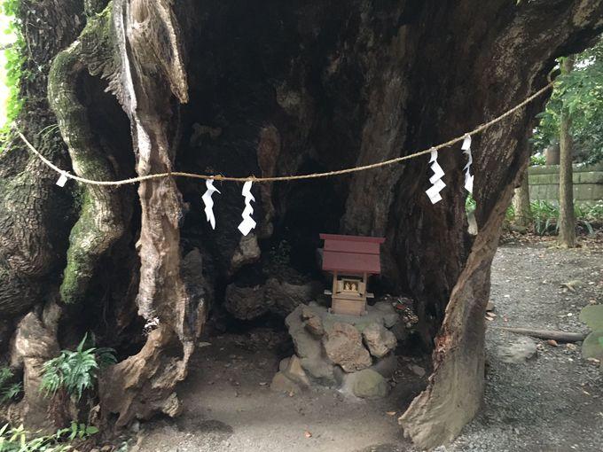 雷にも負けない生命力、樹齢1300年の大楠