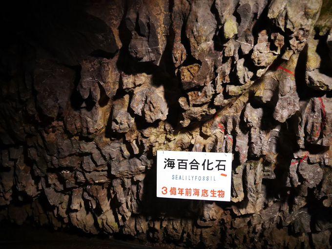 鍾乳石の元となる3億年前の海百合の化石