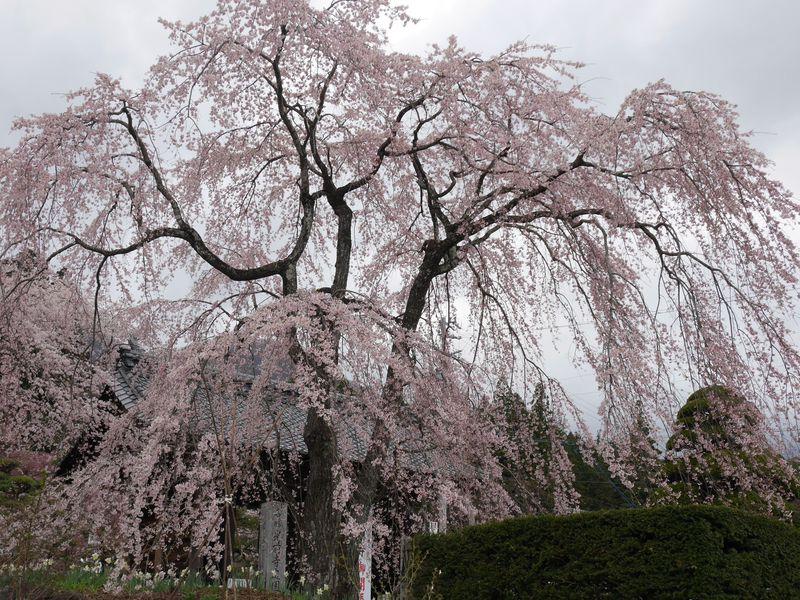 仁王門前の枝垂桜はまるで鳳凰!霊犬早太郎伝説の長野「光前寺」