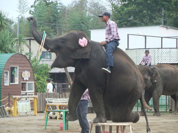 何とゾウに乗れちゃう!ゾウがとにかくスゴい「市原ぞうの国」