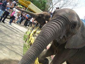 ゾウ、ぞう、象。ゾウがとにかくスゴい!市原ぞうの国