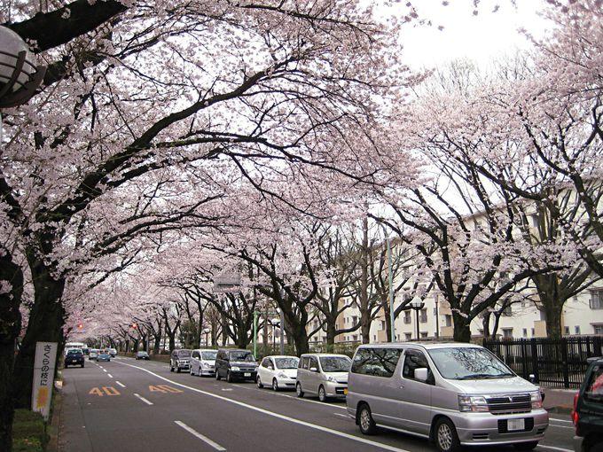 駅南側の桜並木が見事