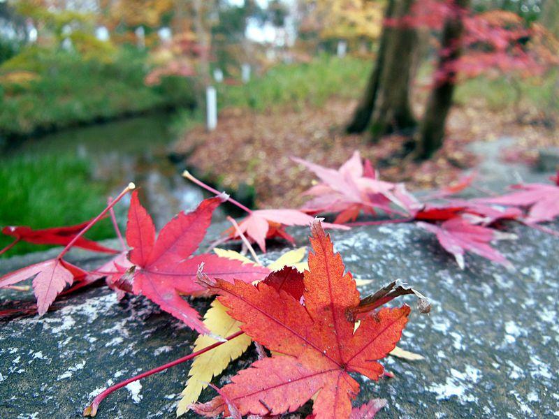京都で一番遅い紅葉!ちょっと不思議な年末に色づく糺の森!