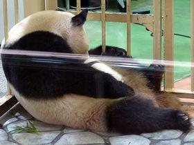 結浜(ゆいひん)誕生でパンダ8頭!幸せいっぱい和歌山アドベンチャーワールド|和歌山県|トラベルjp<たびねす>