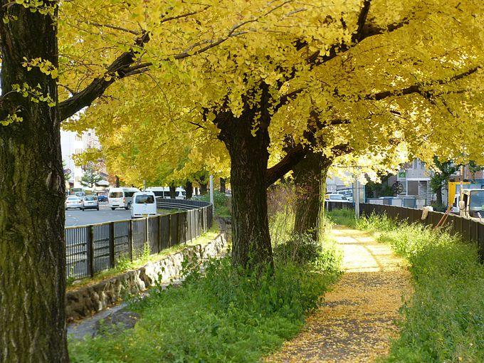 堀川通のイチョウ並木