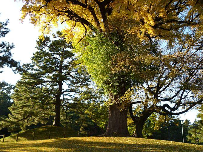 京都御苑内、凝華洞跡の巨木