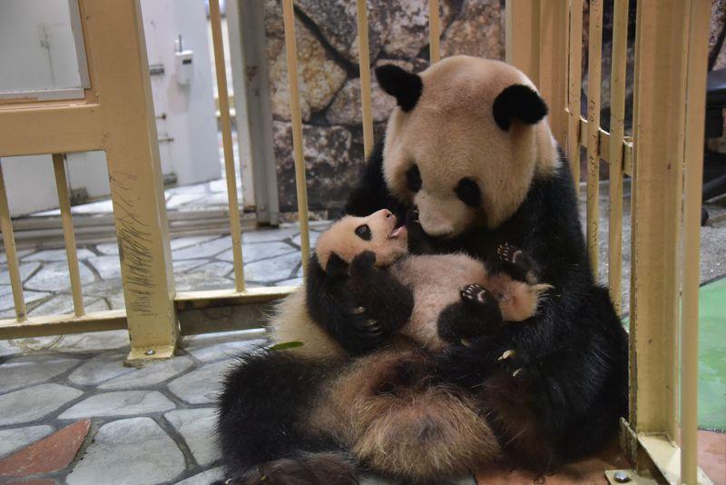 結浜(ゆいひん)誕生でパンダ8頭!幸せいっぱい和歌山アドベンチャーワールド