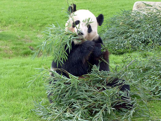 とにかく元気なアドベンチャーワールドのパンダ