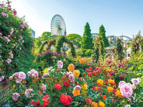 大阪のバラの名所は遊園地!ひらパー「ローズフェスティバル」|大阪府|トラベルjp<たびねす>
