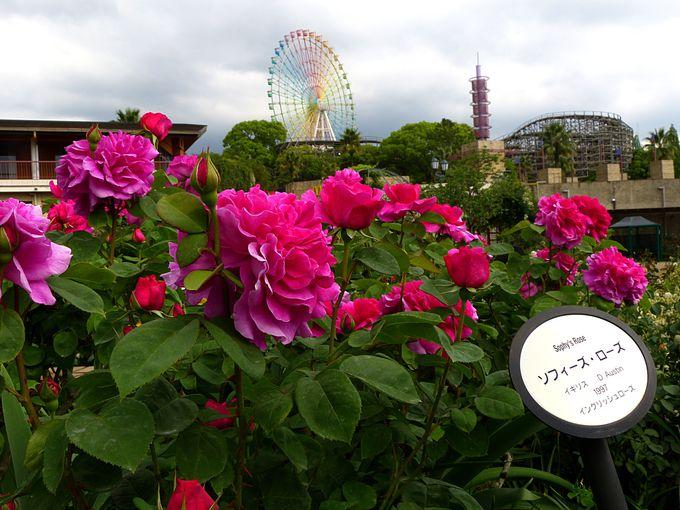 ローズフェスティバル開催中のひらパーとバラの歴史