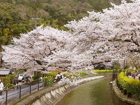 京の川沿い桜スポット!川に寄り添い水面に映る桜の美しさ