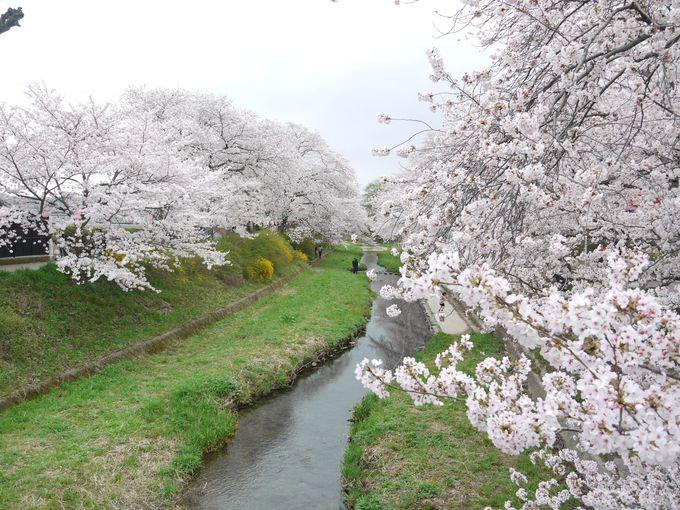 井手町の河津桜