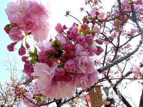 大阪の桜の定番!造幣局の桜の通り抜けは珍しい品種いっぱい|大阪府|トラベルjp<たびねす>