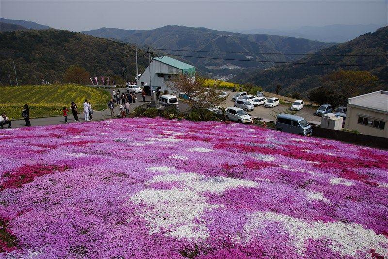 山間集落に咲く脇町広棚花の里の芝桜