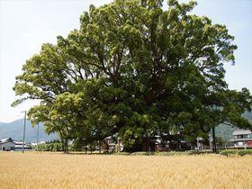 徳島県東みよし町 樹齢1000年「加茂の大クス」の精気に癒される