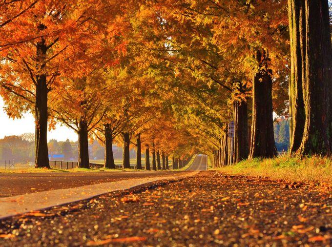 春夏秋冬を選ばない絶景!マキノ高原のメタセコイア並木道