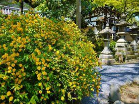 黄金色に染まる境内!京都「松尾大社」は山吹の名所