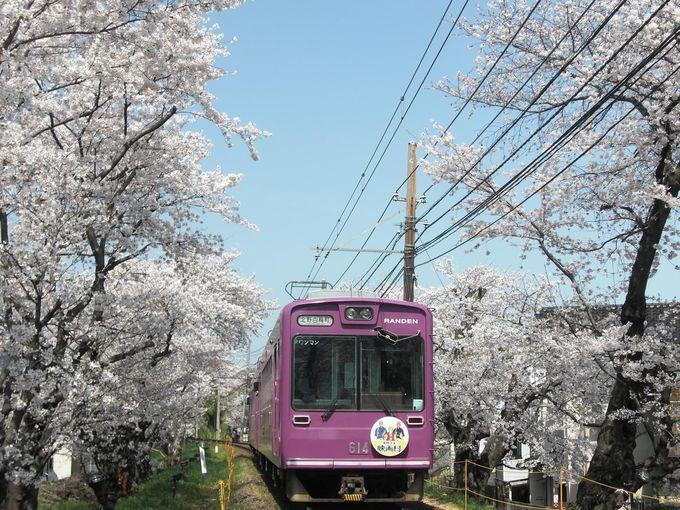 桜のトンネルを走る「嵐電」