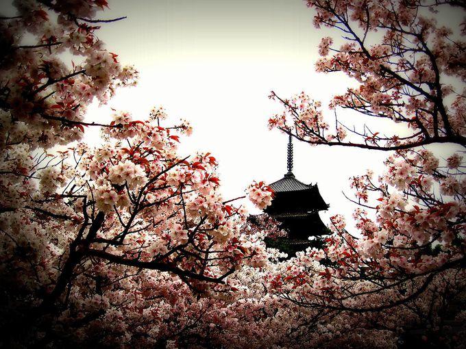 遅咲きの「御室桜」を楽しもう!