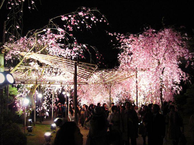 文豪も愛した平安神宮の紅しだれ桜。