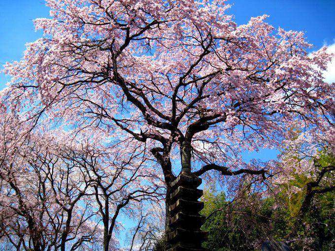 日本の桜守、佐野藤右衛門!「植藤造園」