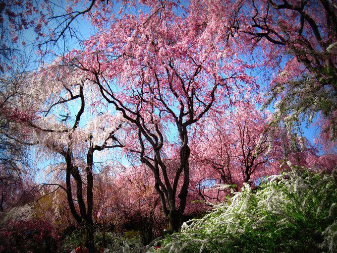 桜は多種多様!いくつ探せますか?