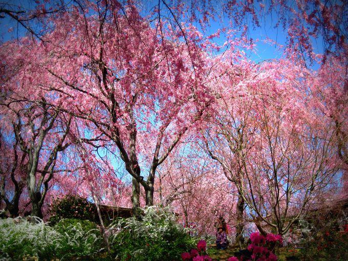 枝垂れ桜のジャングルがそこにある!