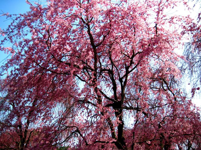 桜の穴場的名所!「原谷苑」
