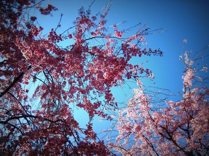枝垂れ桜の鑑賞法