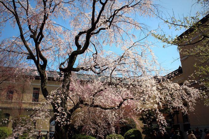 京都府庁「祇園枝垂桜」の孫