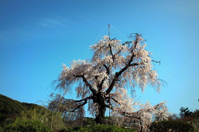円山公園「祇園枝垂桜」