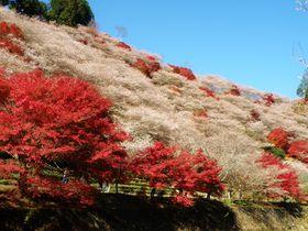 マツケンも絶賛!愛知・小原の「四季桜」と紅葉の共演がモノスゴい!|愛知県|トラベルjp<たびねす>