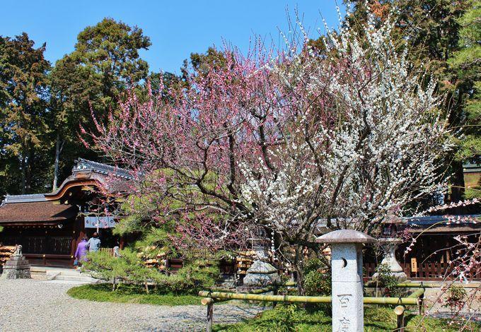 梅の名所で子宝・安産を祈願「梅宮大社」(京都)
