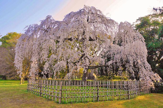 旧近衛邸宅跡だけじゃない「京都御苑」の桜