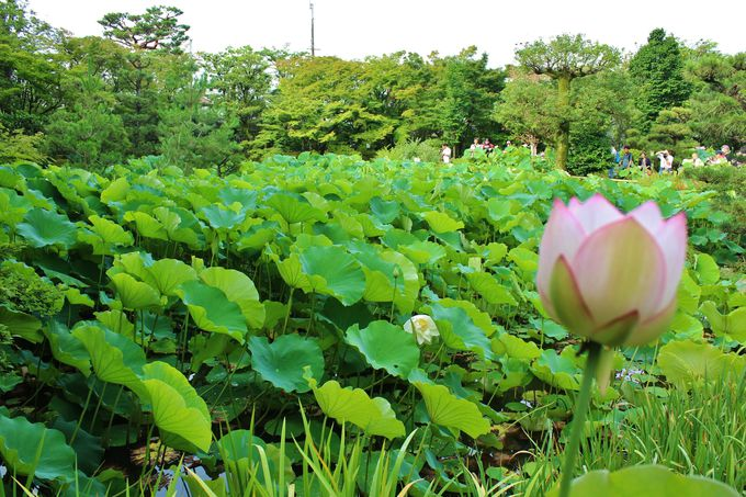 「法金剛院」の池を埋め尽くす蓮