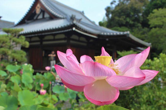 蓮の名所「法金剛院」は早朝に訪ねたい寺「?