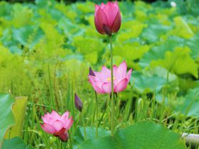 京都・蓮の名所「法金剛院」で早朝から極楽浄土へ!