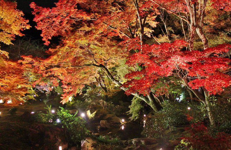 京都「宝厳院」秋の夜間特別拝観で真紅の紅葉ライトアップを味わおう