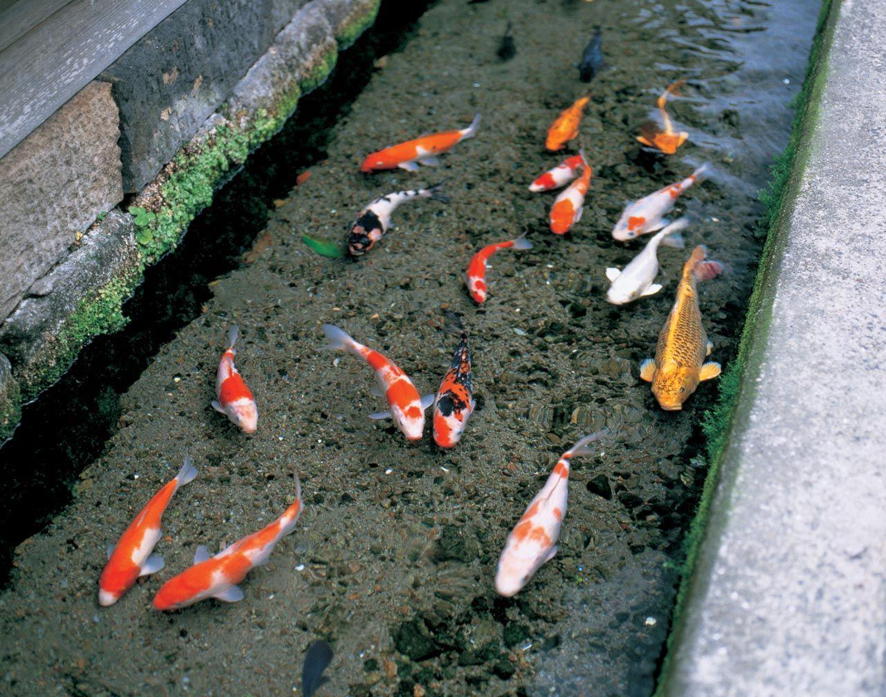 島原市中心にある「鯉の泳ぐまち」
