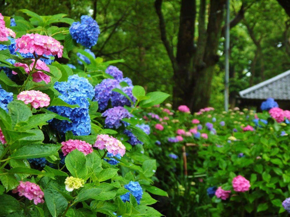 初夏は花の寺へ行こう。京都あじさいの名所10選
