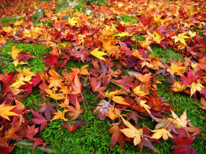 散り紅葉を楽しめる「常寂光寺」