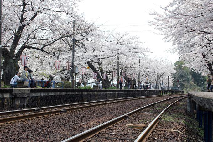 毎年恒例のお花見イベント「花見だよin能登さくら駅」を開催!
