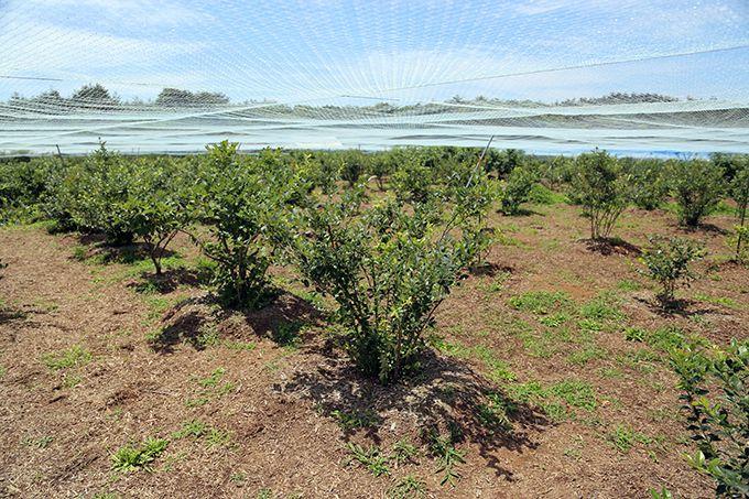 能登柳田は北陸地方で最大級のブルーベリーの産地