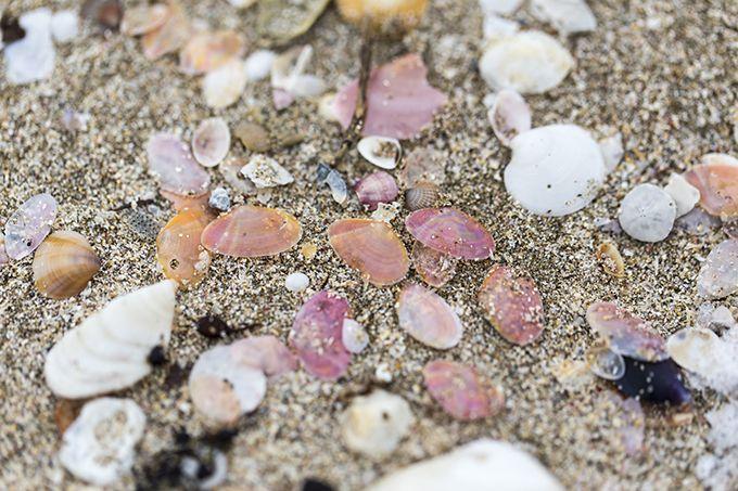 西能登の里浜に打ち寄せられる美しいさくら貝!〜増穂浦海岸〜
