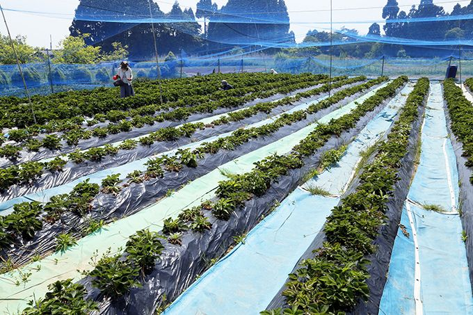 赤崎いちご園は昭和34年から続く全国でも珍しい露地栽培!