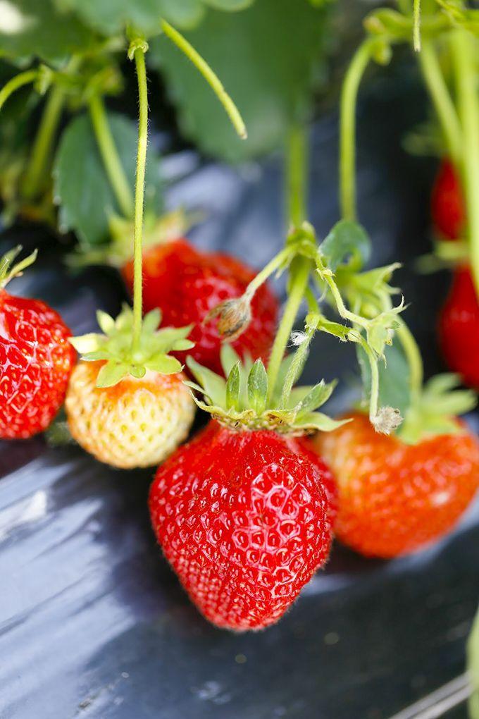 5月中旬に最盛期を迎える赤崎いちご♪特徴は甘さと柔らかさ。