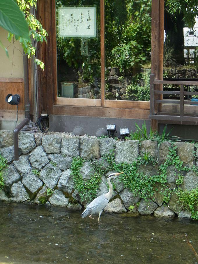 祇園のただ中を流れる白川の小流れに沿って