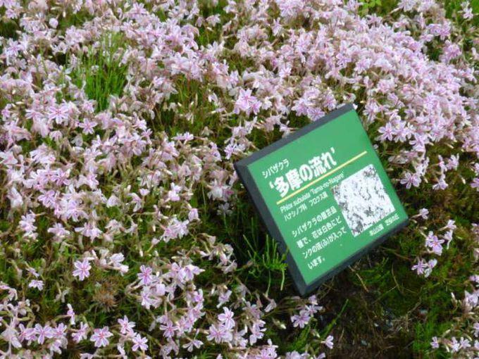 9種類の芝桜のひとつ、多摩の流れ。